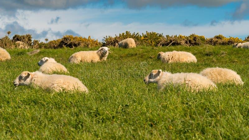 Rilassamento delle pecore fotografia stock