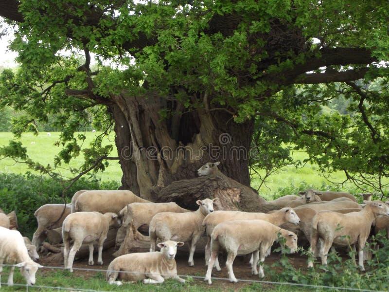 Rilassamento delle pecore fotografie stock libere da diritti