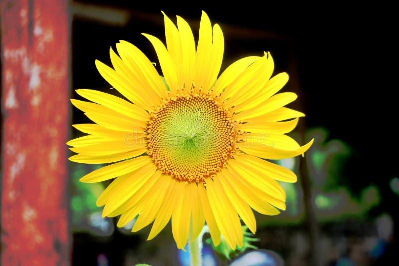 rilassamento giallo del grande fiore del sole fresco immagine stock libera da diritti