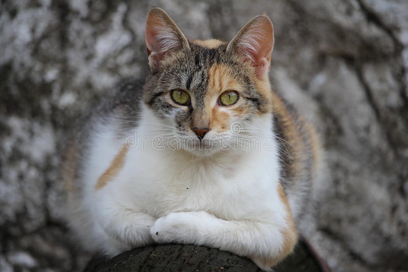 Rilassamento macchiato del gatto all'aperto immagine stock