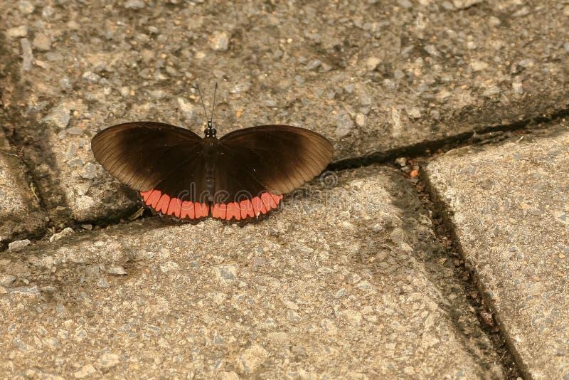 Rim Butterfly rojo (hyperia de Biblis) imagen de archivo libre de regalías