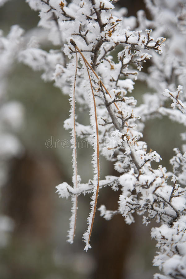 Download Rime Covering Pine Needle In Gooseberry Bush Stock Image - Image: 12319775