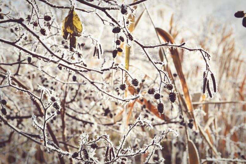 Rime frost crystals on alder tree fruits. Vintage effect royalty free stock image