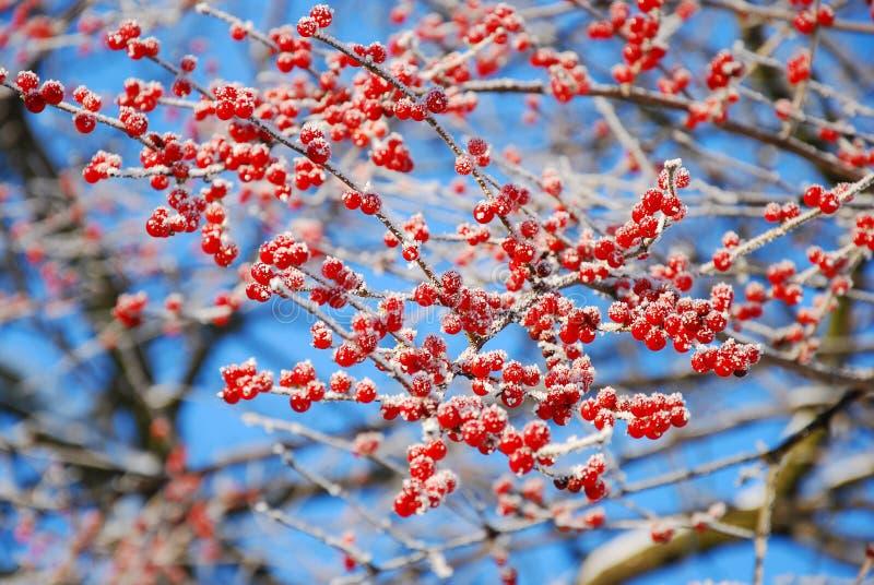 Rime på vintertree med röda bär royaltyfri foto