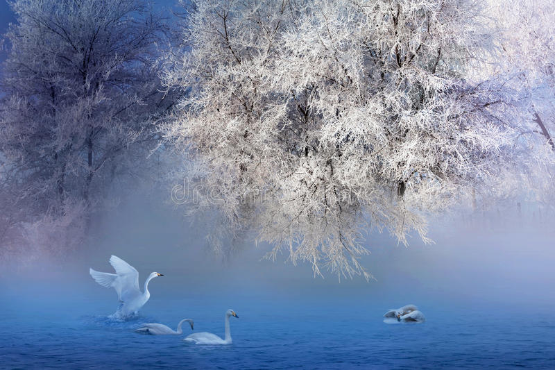 Rime And Swans. This is a fairy-tale world, a winter's dream royalty free stock image