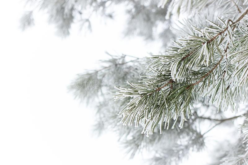 Rimed pine branch with hoarfrost on white fogged snow background, beautiful christmas and new year frame royalty free stock photo