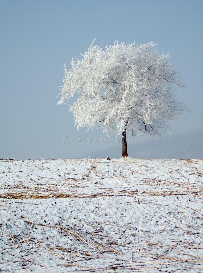 rimed tree arkivbilder