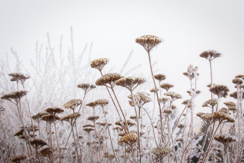 Rimfrost och yarrow i en wintergarden royaltyfria foton