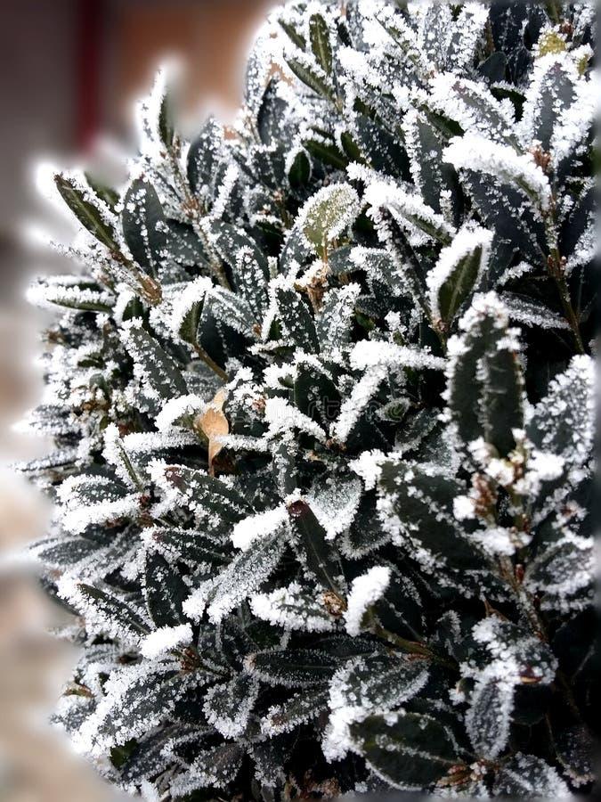 Rimfrost på en Buxusväxt royaltyfria bilder