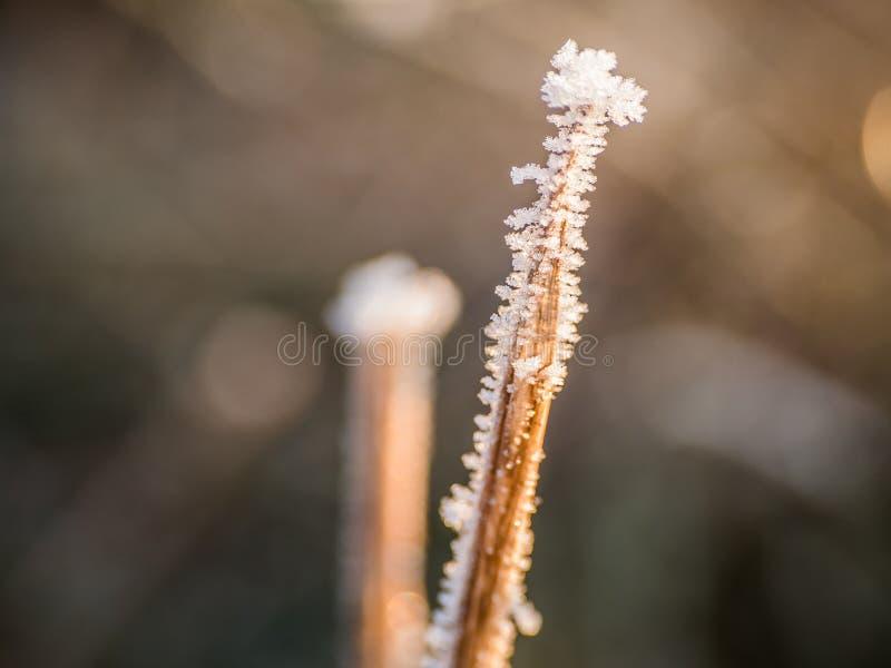 Rimfrost på gräs arkivbild