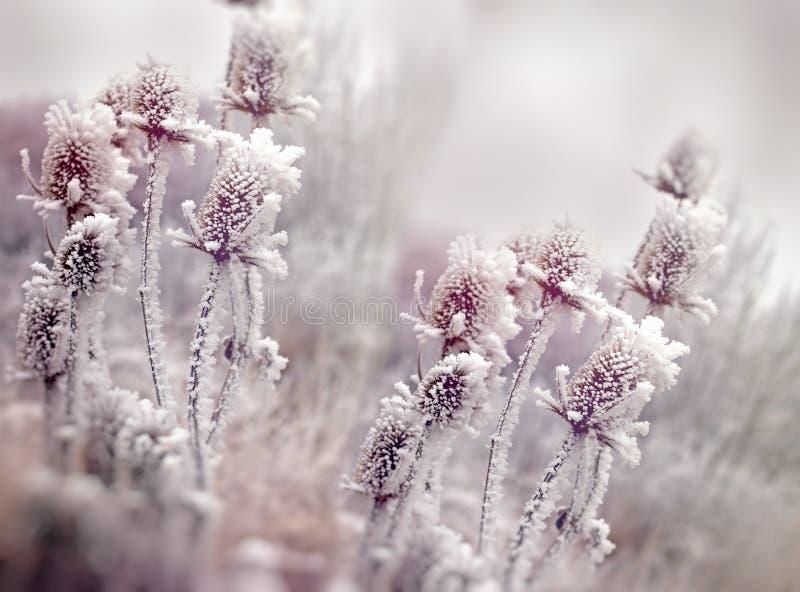 Rimfrost på tisteln - kardborre, morgondimma och frost i ängen royaltyfria foton