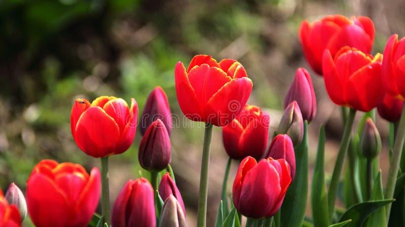 Rimmed Czerwoni tulipany obraz stock