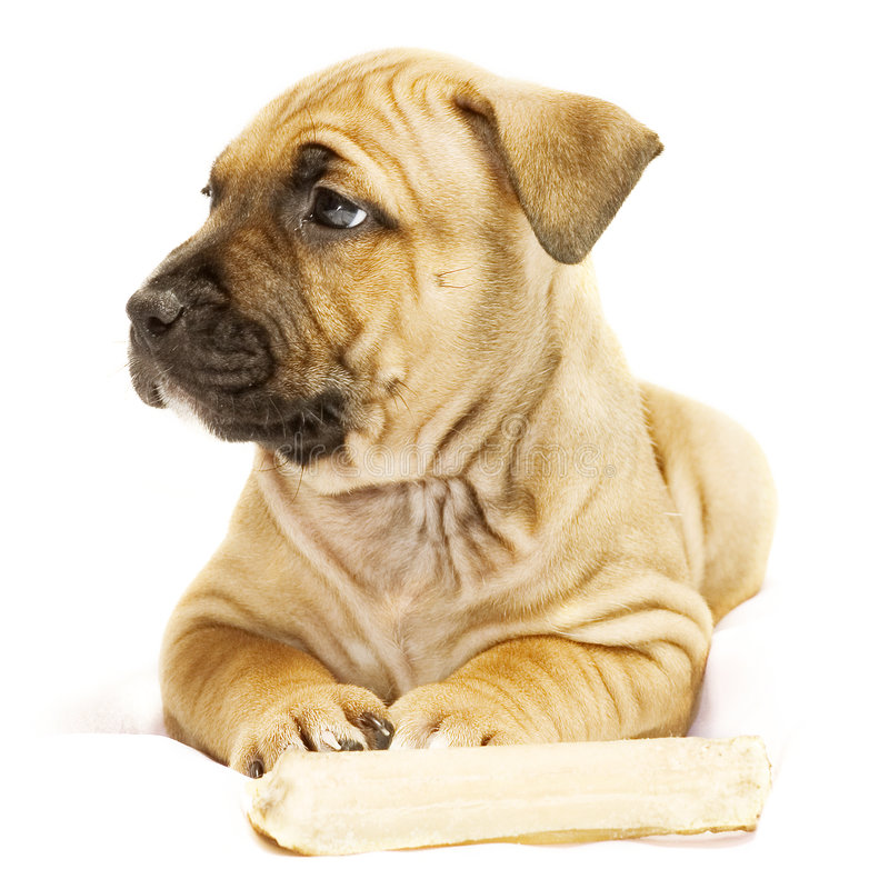 Rimpled puppy. Puppy with bone stock photography