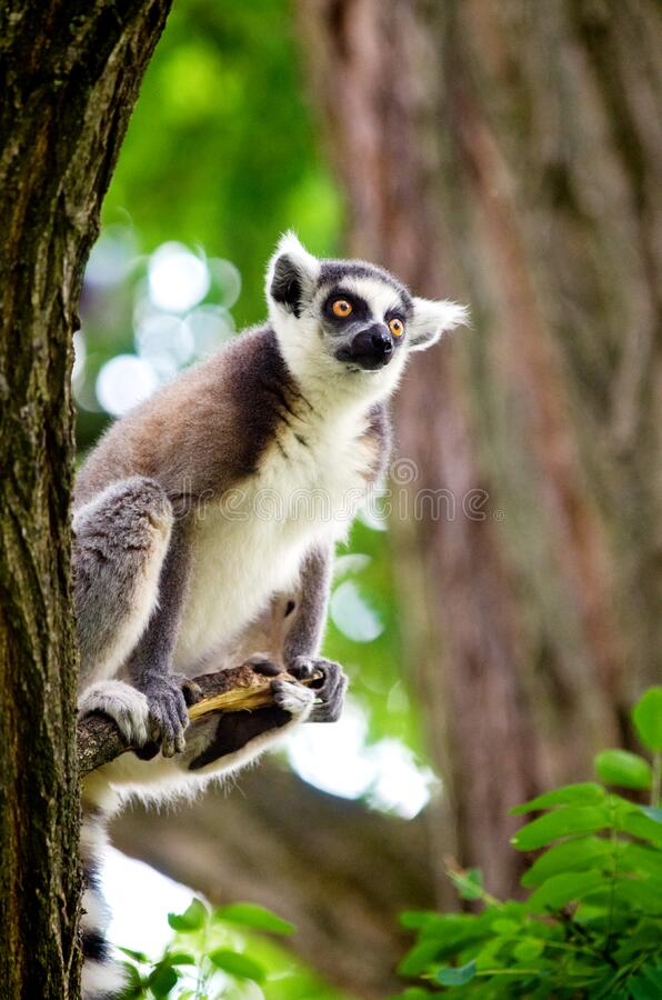 Rin-tailed Lemur Free Public Domain Cc0 Image