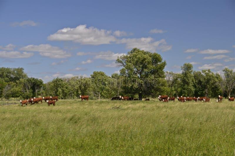 Rindfleischherde, die in der Weide weiden lässt stockbild
