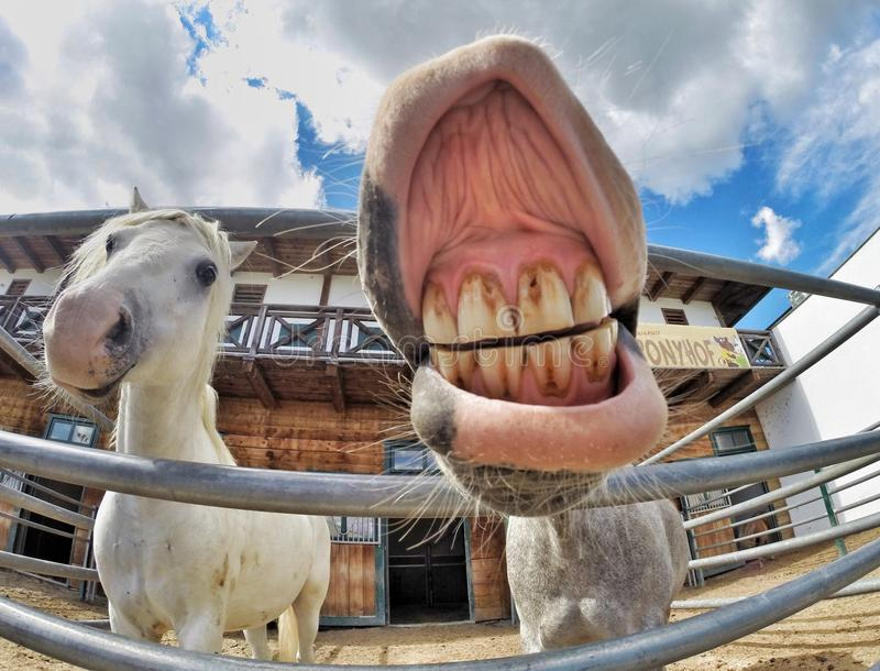 Rindo, cavalo jawning fotografia de stock royalty free
