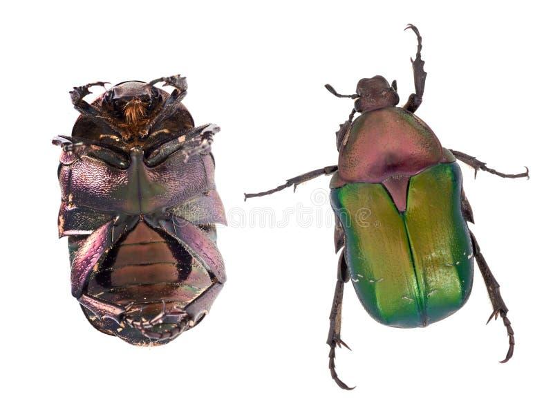 Rinforzo di Rosa, aurata di Cetonia, isolato su fondo bianco Bello scarabeo iridescente Cima e parte di sotto fotografia stock libera da diritti