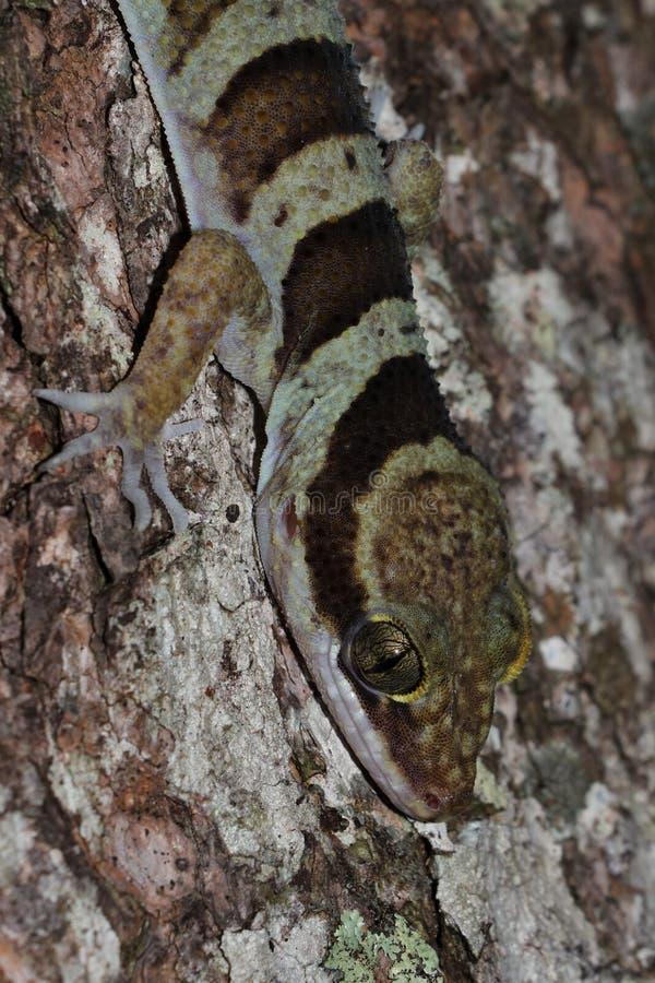 Ring-angebundener Gecko stockfoto