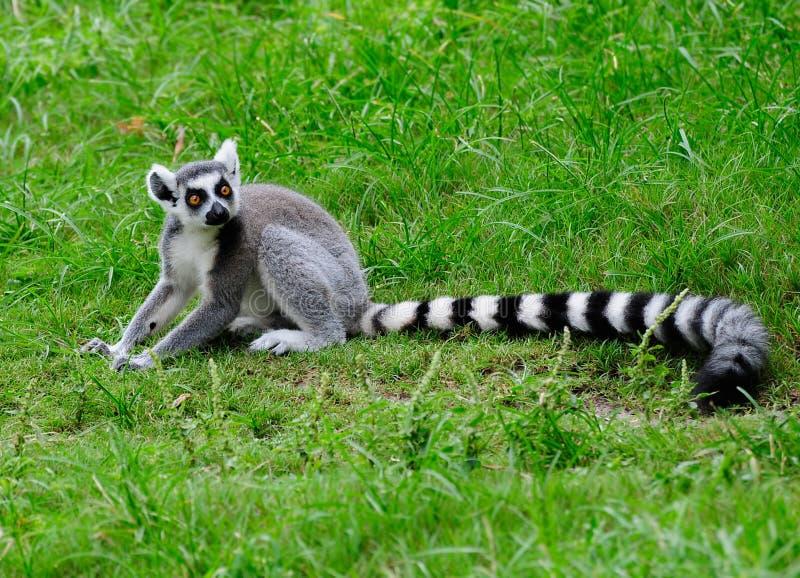 Ring angebundener Lemur stockfotos