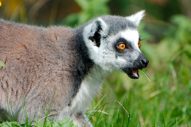 Download Ring angebundener Maki stockfoto. Bild von lemur, tier - 90225952
