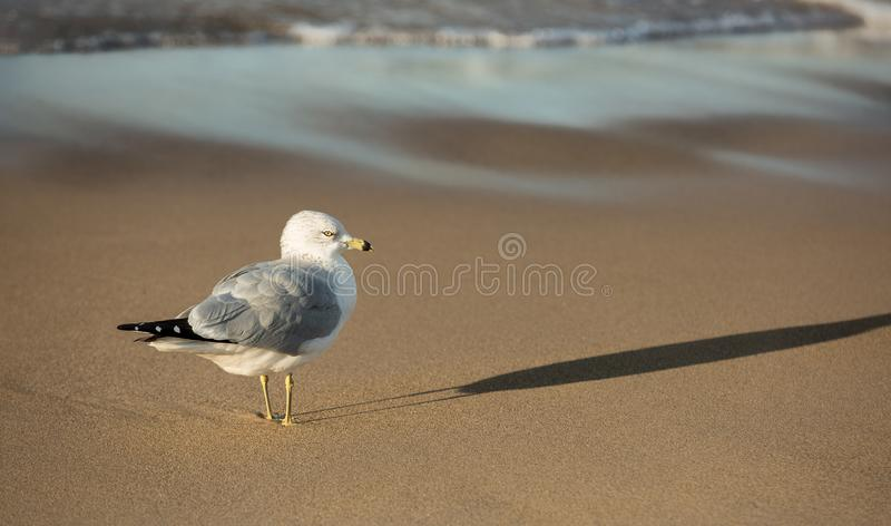 Ring Bill Gull sulla spiaggia al lago Michigan di tramonto fotografie stock libere da diritti