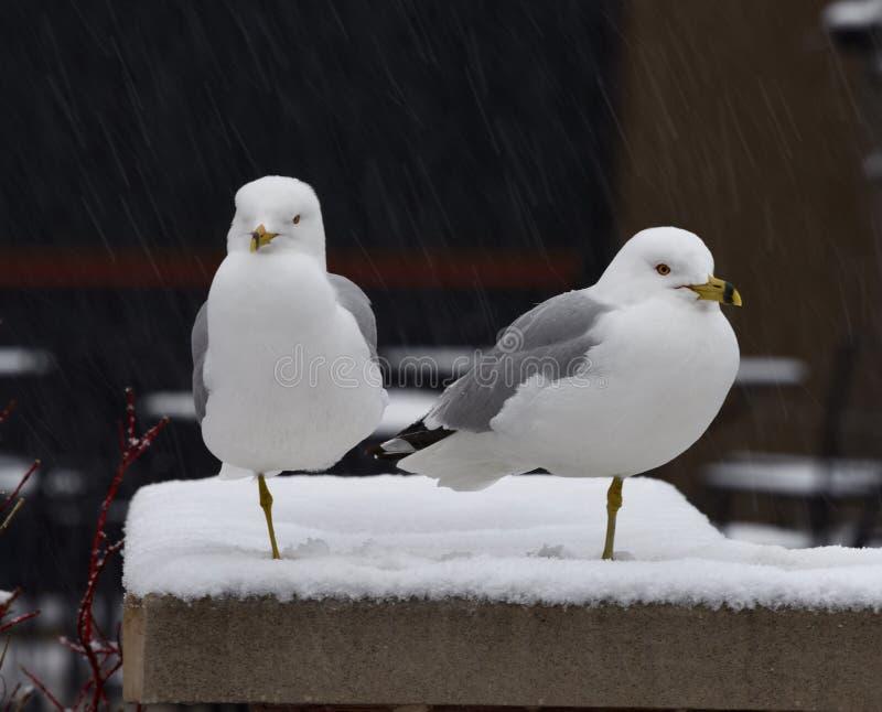 Ring Bill Gulls en la tormenta de la nieve foto de archivo
