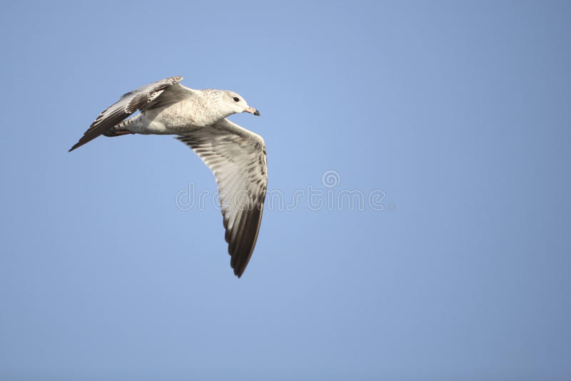 Download Ring-Billed Gull Royalty Free Stock Photo - Image: 12250135