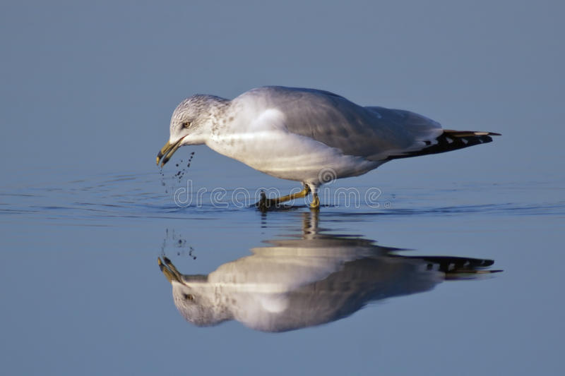 Download Ring-billed Gull stock image. Image of creature, fauna - 22845085
