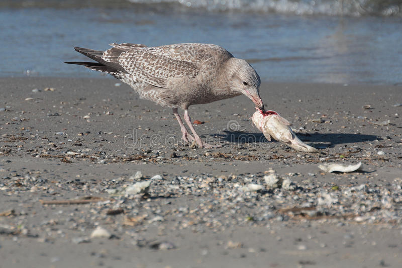 Ring Billed Gull stock foto