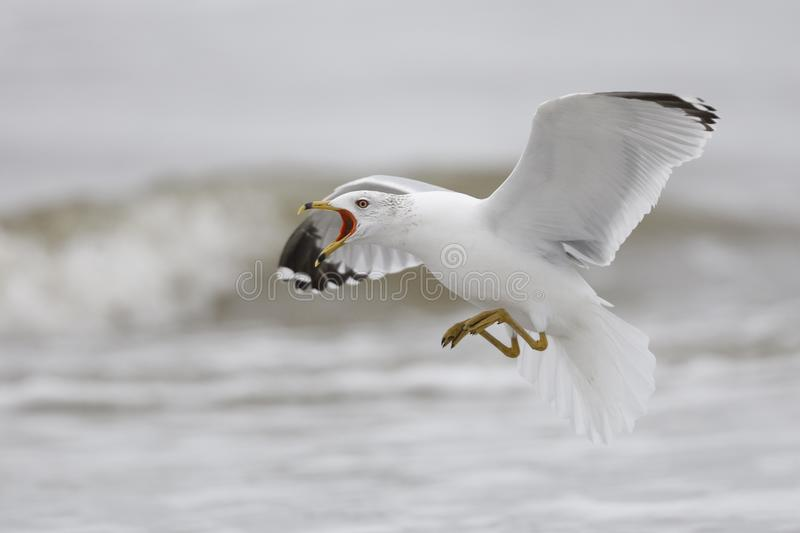 Ring-billed Gull calling as it prepares to land - Jekyll Island, Georgia royalty free stock images
