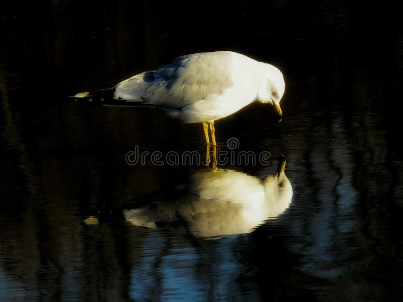 Ring Billed Gull Curiously Looking en su reflexión fotos de archivo