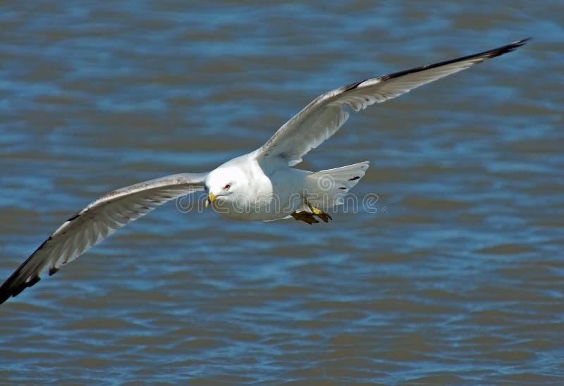 Ring Billed Gull in Flight royalty free stock photos