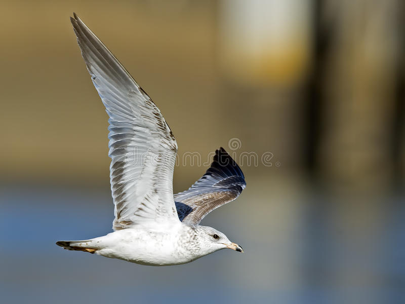 Ring-billed Gull in Flight royalty free stock photography