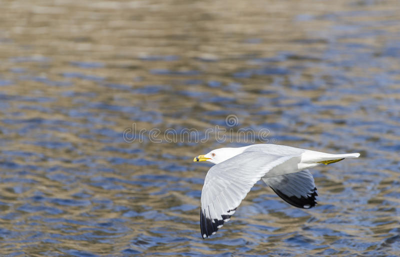 Ring-billed Gull in Flight stock photography
