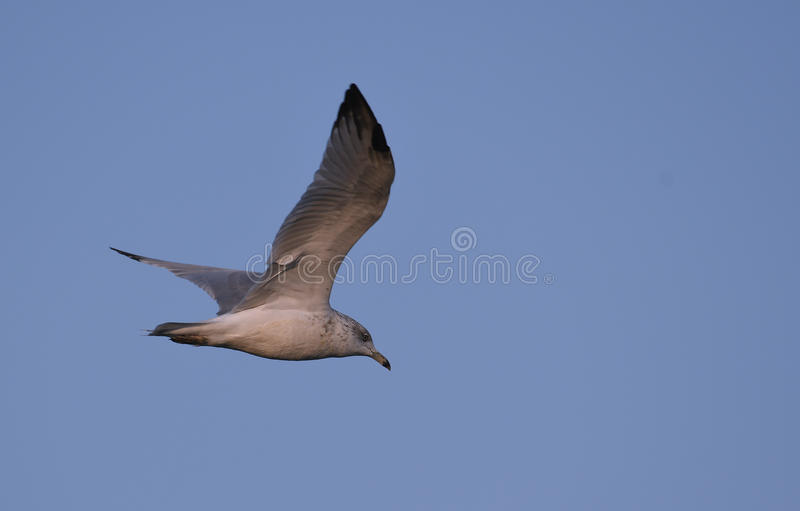 Ring billed Gull in flight stock images