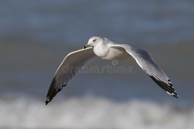 Ring-billed Gull flying over the surf on a Lake Huron beach royalty free stock image