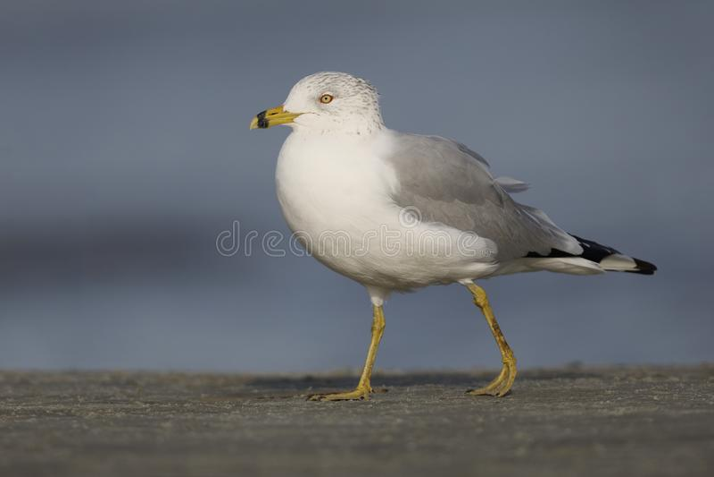 Ring-billed Gull foraging on a beach - Jekyll Island, Georgia stock image