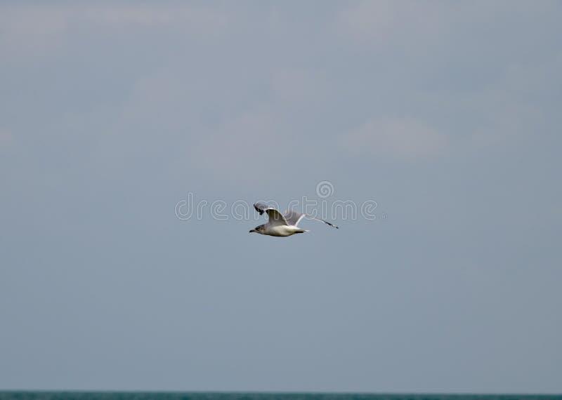Ring Billed Gull Gliding Over o Lago Michigan foto de stock royalty free