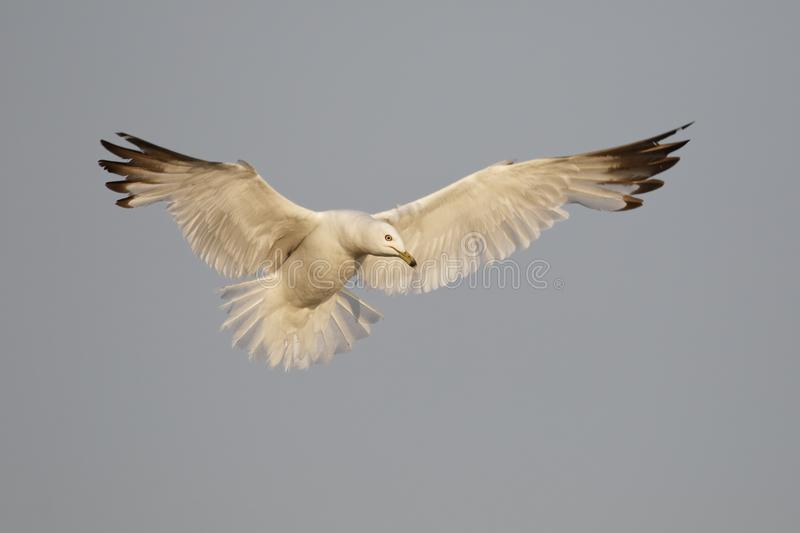 Ring-billed Gull hovering as it prepares to land stock photography