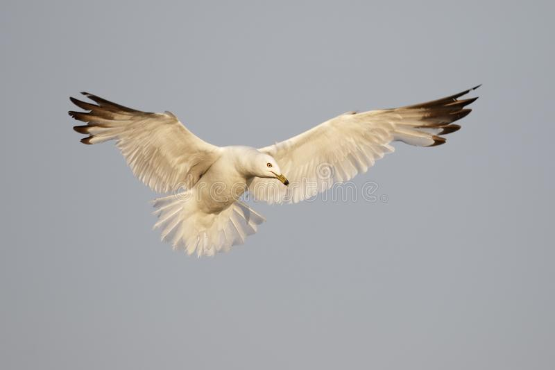 Ring-billed Gull hovering over a Lake Huron beach stock photos