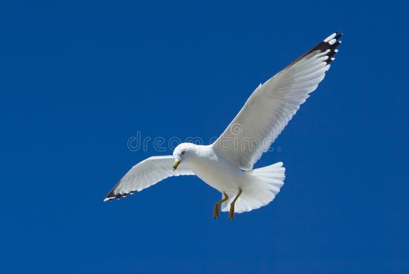 Download Ring-Billed Gull (Larus Delawarensis) Stock Image - Image: 24595871