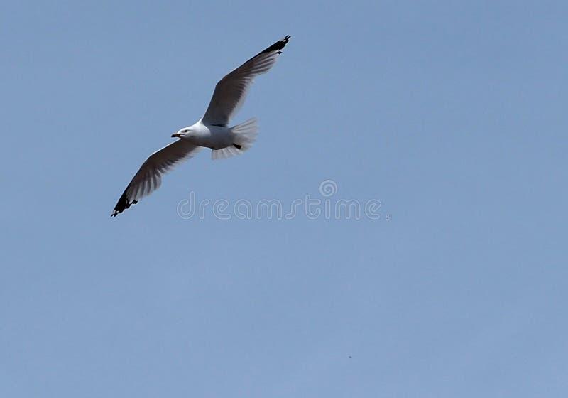 Ring Billed Gull Or Larus Delawarensis images libres de droits