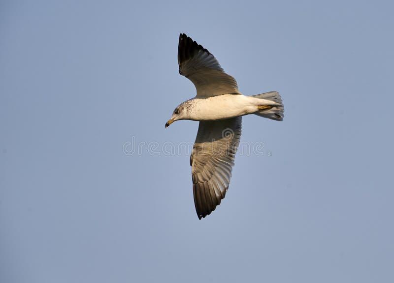 Ring-billed gull Larus delawarensis in flight stock photo
