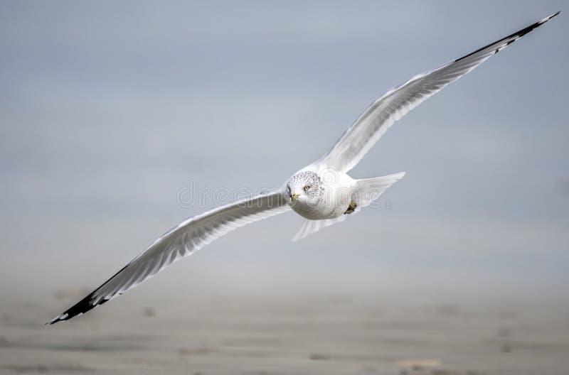 Ring-billed Gull flying over the ocean beach on Hilton Head Island, South Carolina, USA. Ring billed Gull, Larus delawarensis, flying over the Atlantic ocean stock photo