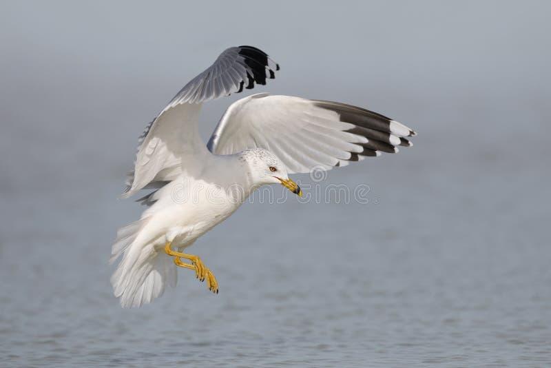 Ring-billed Gull preparing to land on a beach - Florida stock photos