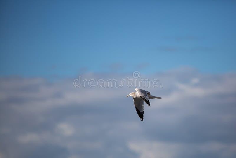 Ring Billed Gull Larus-delawarensis tijdens de vlucht stock fotografie