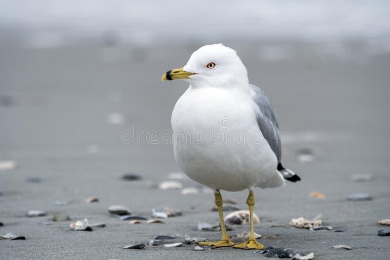 Ring Billed Gull på den Myrtle Beach kusten royaltyfria bilder