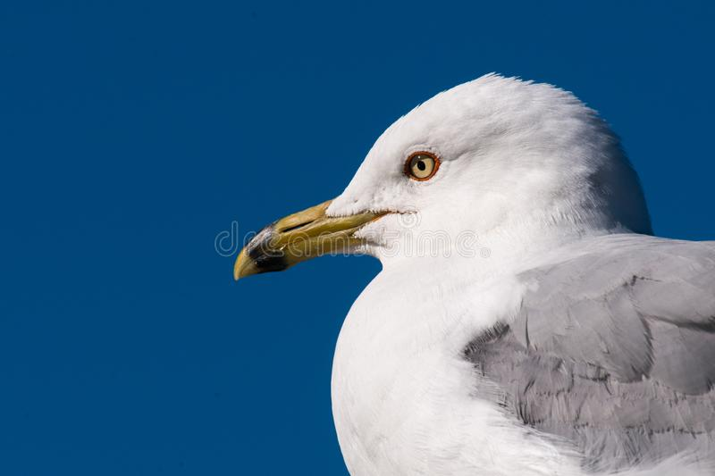 Ring-billed Gull Portrait royalty free stock images