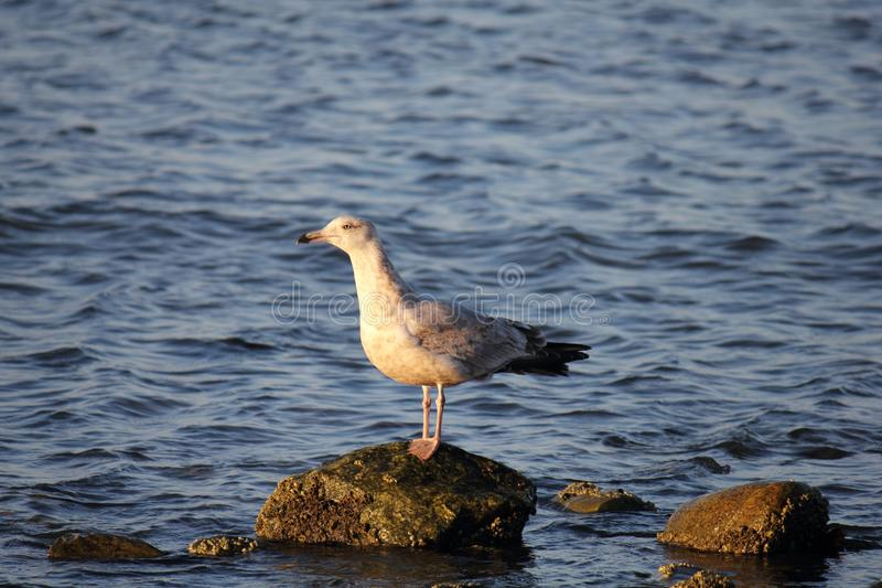 Ring Billed Gull Seagull fotografering för bildbyråer