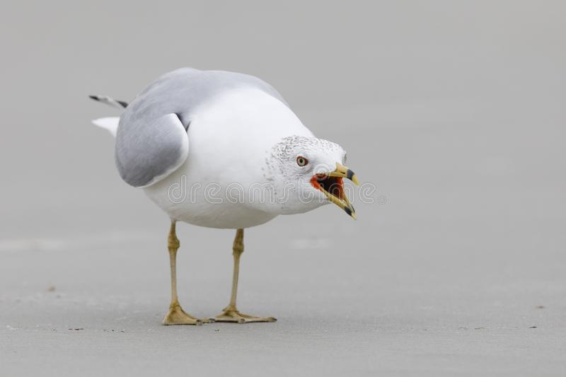 Ring-billed Gull in a territorial display - Jekyll Island, Georgia stock photography